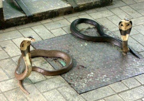 חוות הנחשים, בנגקוק